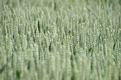 Green field of wheat heads royalty free stock image