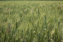 Green field of wheat Royalty Free Stock Images