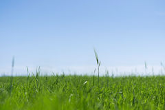 Green field of wheat. Meadow in spring with wheat stock image