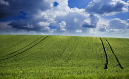 Green field of wheat over amazing cloudscape. At spring Royalty Free Stock Images