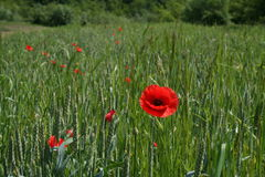 Green field of wheat with poppies Stock Photo