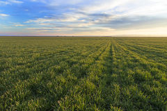 Green field of wheat Royalty Free Stock Photos
