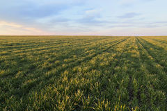 Green field of wheat. Ripening over blue sky Stock Images