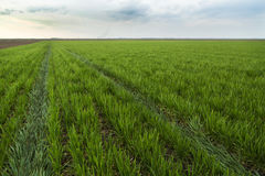 Green field of wheat ripening over blue sky. With tractor marks over land Royalty Free Stock Photos