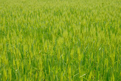 Green field of wheat Stock Images