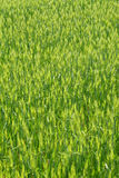 Green field of wheat Stock Photography