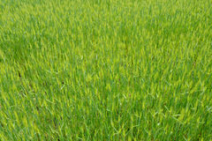 Green field of wheat Royalty Free Stock Photography