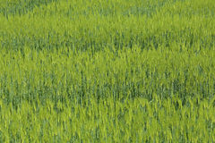 Green field of wheat Stock Photos