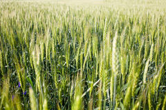 Green field of wheat Stock Photo