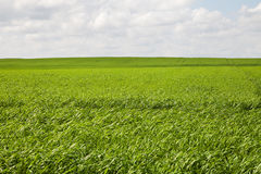 Green field. Royalty Free Stock Photos