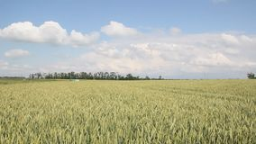 Green field of wheat. Swaying in the wind stock video footage