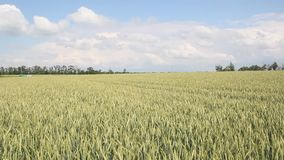 Green field of wheat. Swaying in the wind stock video