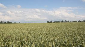 Green field of wheat. Swaying in the wind stock footage
