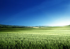 Green field of wheat in Tuscany Royalty Free Stock Images