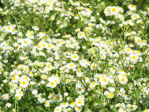 Green field with white daisies closeup Royalty Free Stock Image