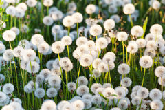 Green field of white dandelions Royalty Free Stock Photo