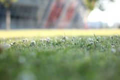 Green field with white flowers on blurred background . Closeup of white spring flowers on the ground royalty free stock photography