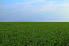 Green field of winter grain continuing to horizon blue sky Stock Images