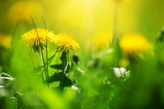 Field with dandelions. Closeup of yellow spring flowers Royalty Free Stock Photos