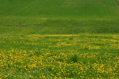 Green field yellow flowers. Green field with small yellow flowers Stock Photography