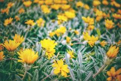 Green field with yellow flowers. Blur. Green field with yellow flowers. Out focus, blur. Sillhouette Royalty Free Stock Images