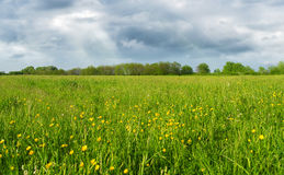 Green field with yellow flowers Royalty Free Stock Images