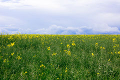 Green field with yellow flowers Stock Photos