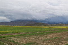 Green field with yellow mustard flower in Tibet Royalty Free Stock Photography