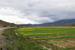 Green field with yellow mustard flower in Tibet Royalty Free Stock Image