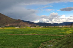 Green field with yellow mustard flower in Tibet Stock Photo