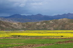 Green field with yellow mustard flower in Tibet Stock Photos