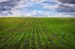 Green field with young corn and cloudy sky Stock Photography