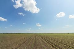 Green field with young corn. Rows Green Corn Field. Agriculture Royalty Free Stock Photography