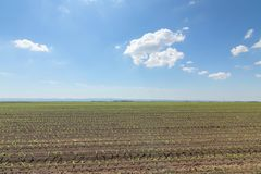 Green field with young corn. Rows Green Corn Field. Agriculture Stock Images