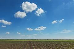 Green field with young corn. Rows Green Corn Field. Agriculture Stock Photography