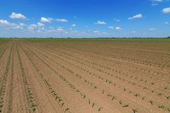 Green field with young corn. Rows Green Corn Field. Agriculture Stock Photos