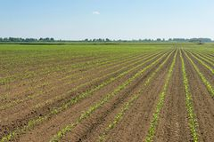 Green field with young corn. Rows Green Corn Field. Agriculture Royalty Free Stock Image