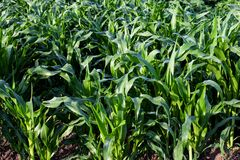 Green field of young shoots of corn background royalty free stock images