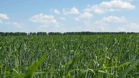 Green field of young wheat stock video