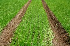 Green field with young wheat plant and tractor track Royalty Free Stock Photography