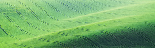 Green field young wheat Royalty Free Stock Photography