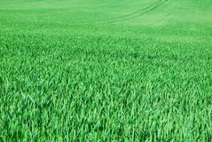 Green field of young wheat in spring Royalty Free Stock Image