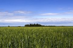 Green fields. Photo of a farmers field with a green crop and a group of treees in the middle looking like an island Stock Photo