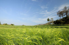 Green fields of barley Stock Images