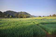 Green fields of barley Stock Photography