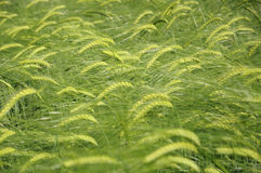 Green fields of barley Stock Photo