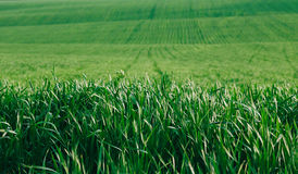 Green fields and closeup of young wheat Stock Photo