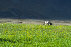 Green fields in countryside. Scenic view of green fields in countryside, Tibet Royalty Free Stock Photo