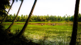 Green Fields. Framers working in fields in mid day surrounded by coconut trees Royalty Free Stock Photography