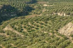 Green fields full of olive trees. Crete, Greece, Europe Olive trees in fields. stock photo